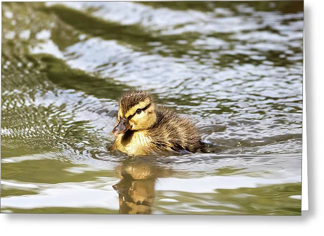 Duckling Paddling In The Sunshine Greeting Card