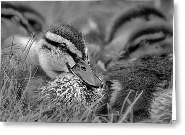 Greeting Card featuring the photograph Ducklings Cuddling Bw by Susan Candelario