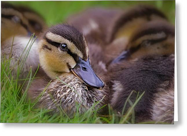 Greeting Card featuring the photograph Ducklings Cuddling by Susan Candelario