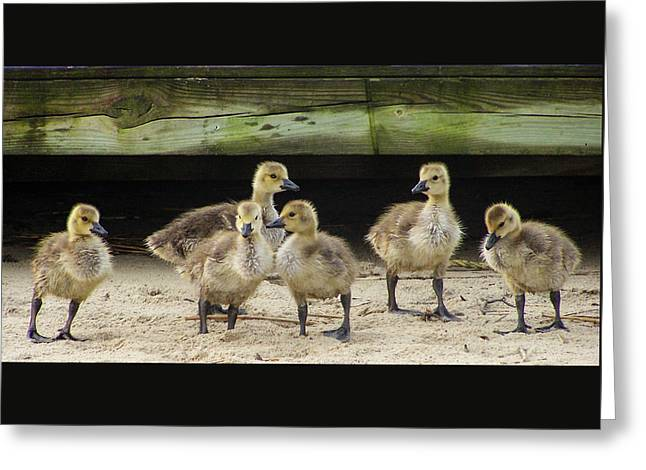 Ducklings Lost Greeting Card