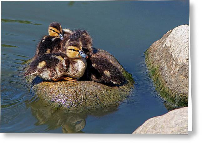 Ducklings On A Rock Greeting Card