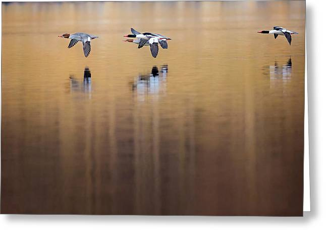 Ducks In Flight Greeting Card by Bill Wakeley