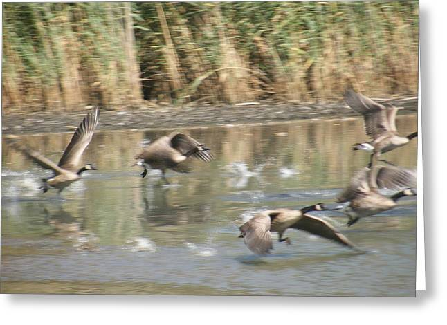 Ducks In Flight Over Water Greeting Card