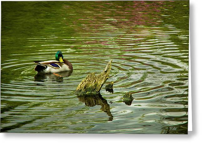 Ducks Life Greeting Card by Steven Clark