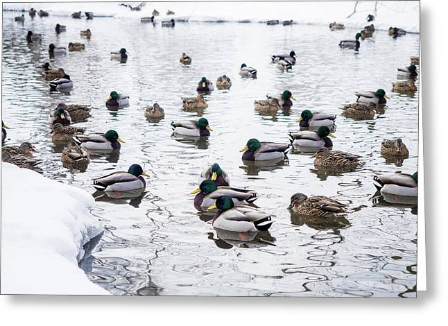 Ducks Swimming By Snowy Shore Greeting Card