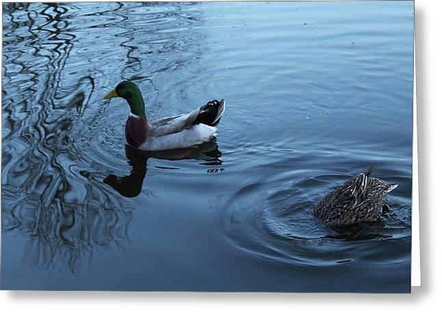 Greeting Card featuring the photograph Mallard Duck by Melinda Blackman