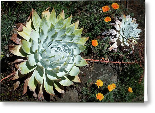Dudleya And California Puppy Greeting Card by Catherine Lau