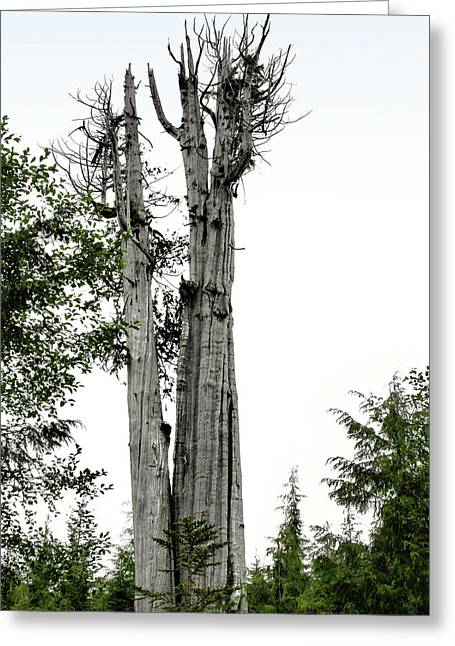 Tall Tree Greeting Cards - Duncan Memorial Big Cedar Tree - Olympic National Park WA Greeting Card by Christine Till