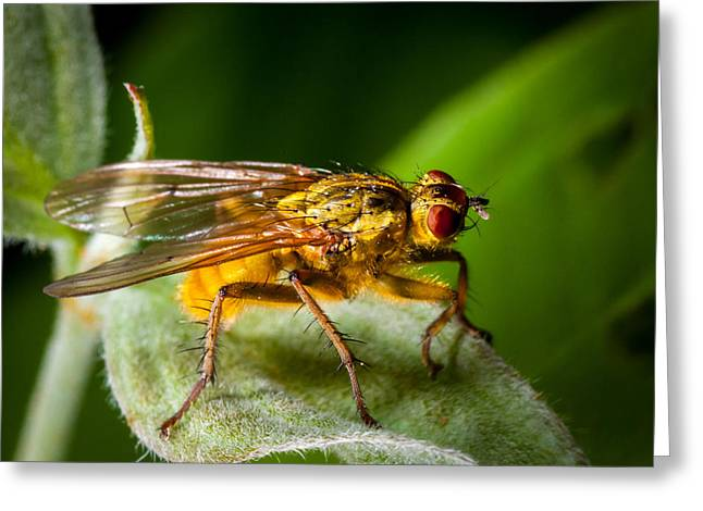 Dung Fly On Leaf Greeting Card
