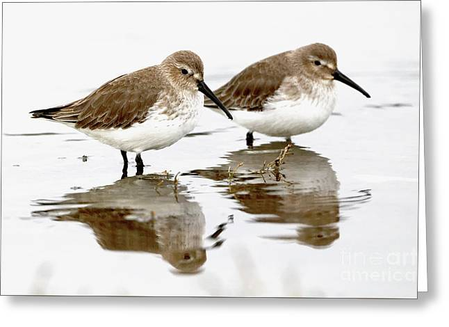 Dunlin Seeing Double Greeting Card