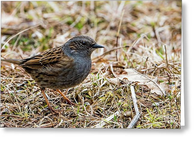 Dunnock Greeting Card by Torbjorn Swenelius