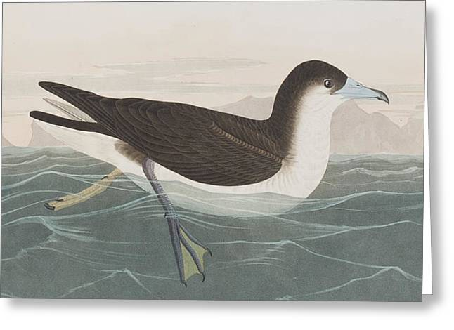 Dusky Petrel Greeting Card by John James Audubon