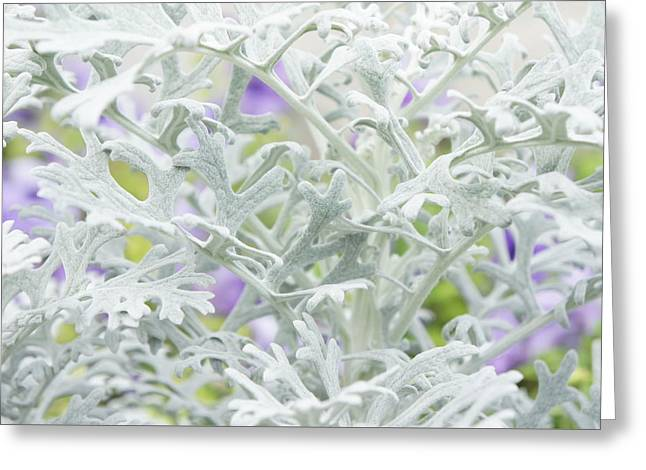 Dusty Miller, Silver Ragwort Greeting Card by Art Spectrum