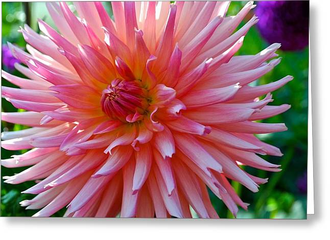 Dusty Rose Dahlia  Greeting Card