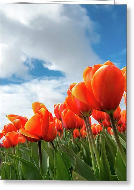 Dutch Tulips Near Keukenhof Greeting Card