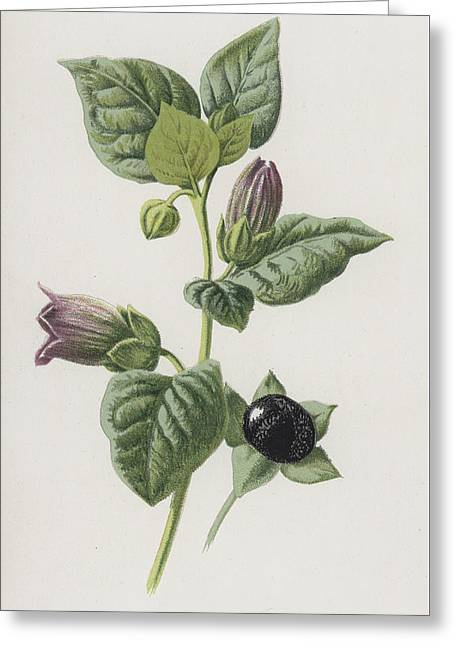 Dwale, Or Deadly Nightshade Greeting Card