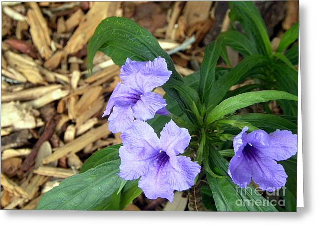 Greeting Card featuring the photograph Dwarf Mexican Petunias by Terri Mills