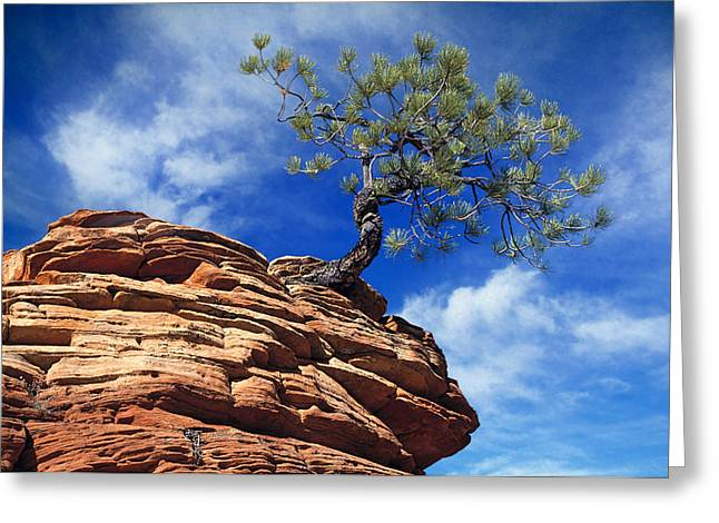 Dwarf Pine And Sandstone Zion Utah Greeting Card by Utah Images