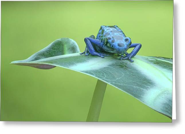Dyeing Dart Frog Greeting Card
