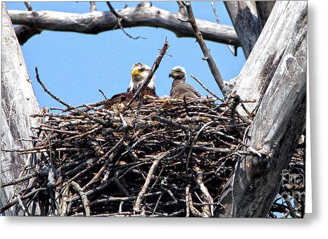 Eagle And Eaglet Greeting Card