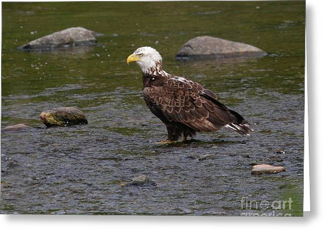 Greeting Card featuring the photograph Eagle Deep In Thought by Debbie Stahre