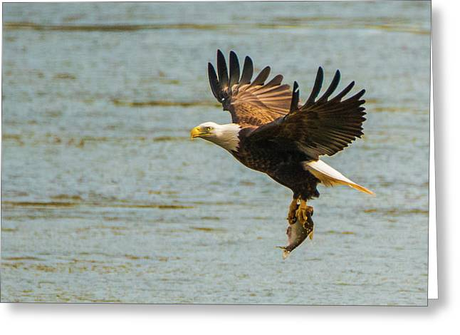 Eagle Departing With Prize Close-up Greeting Card