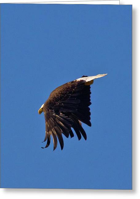 Greeting Card featuring the photograph Eagle Dive by Linda Unger