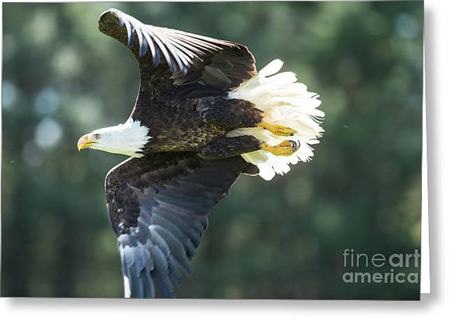Eagle Flying 3005 Greeting Card