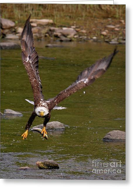 Greeting Card featuring the photograph Eagle Fying With Fish by Debbie Stahre