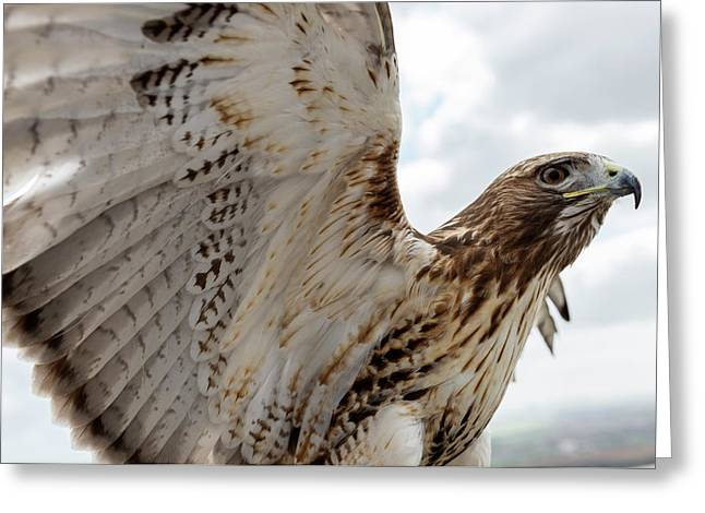 Eagle Going Hunting Greeting Card