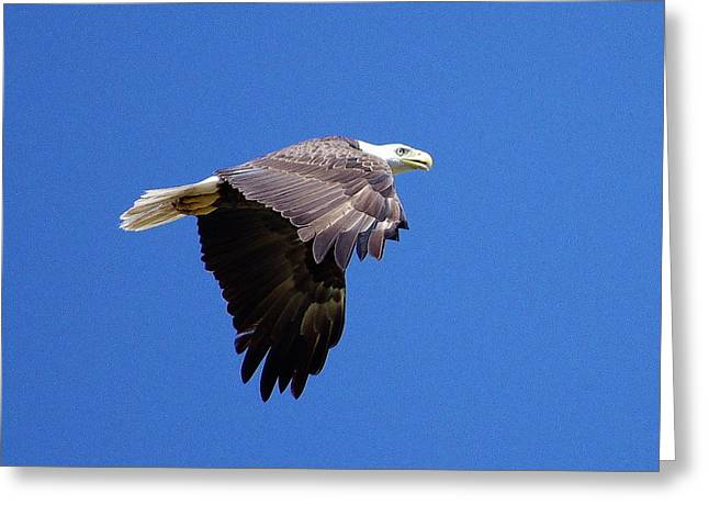 Eagle In Flight Greeting Card by Don Youngclaus