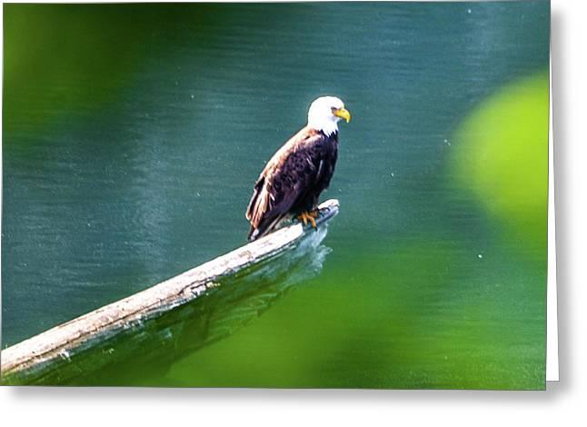 Eagle In Lake Greeting Card