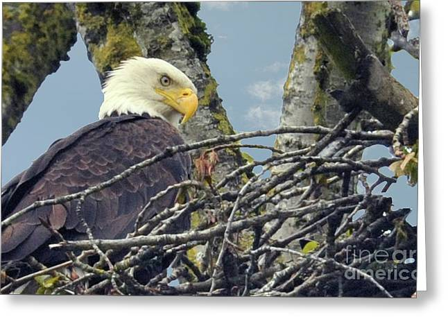 Greeting Card featuring the photograph Eagle In Nest by Rod Wiens