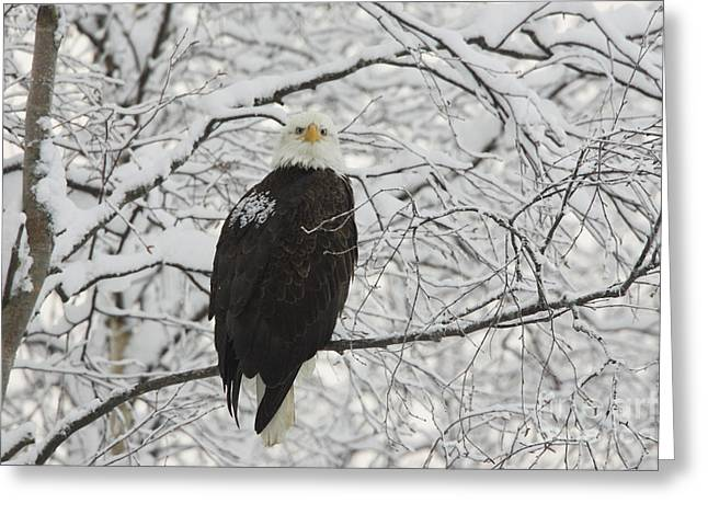 Eagle In Snow Greeting Card by Tim Grams