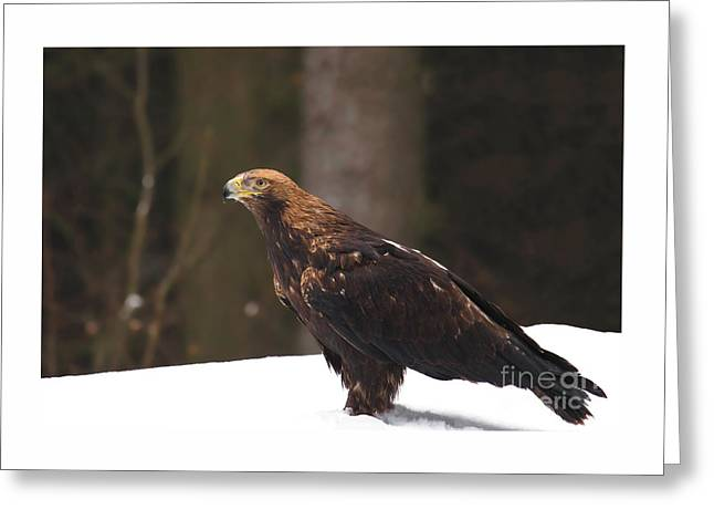 Eagle In The Snow Greeting Card