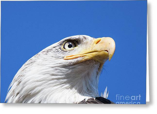 Greeting Card featuring the photograph Eagle by Jim  Hatch