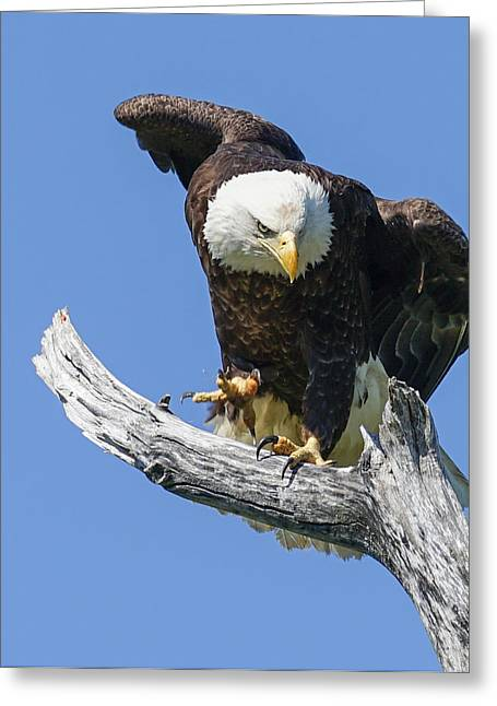 Eagle Landing Greeting Card by Denise McKay