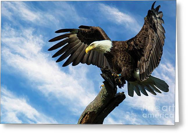 Eagle Landing On A Branch Greeting Card