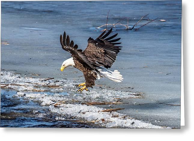 Eagle Landing Greeting Card by Paul Freidlund