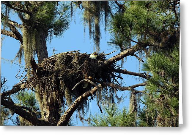 Eagle Nest Call Greeting Card by David Yunker