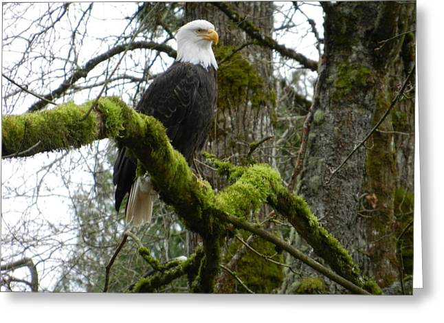 Eagle On A Mossy Limb Greeting Card