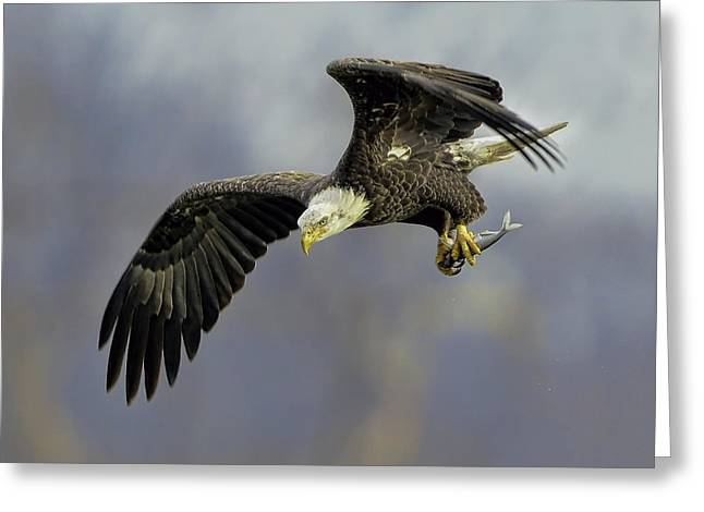 Eagle Power Dive Greeting Card