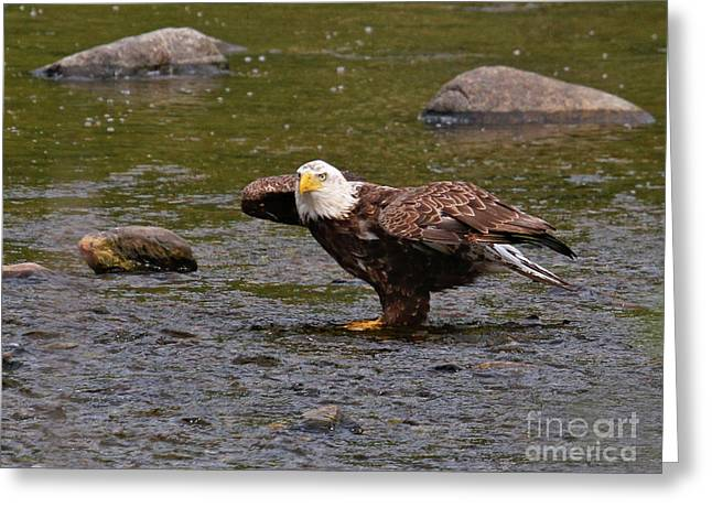 Greeting Card featuring the photograph Eagle Prepares For Take-off by Debbie Stahre
