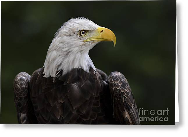 Eagle Profile 2 Greeting Card