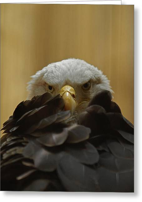 Eagle Thinking Greeting Card by Peter Gray