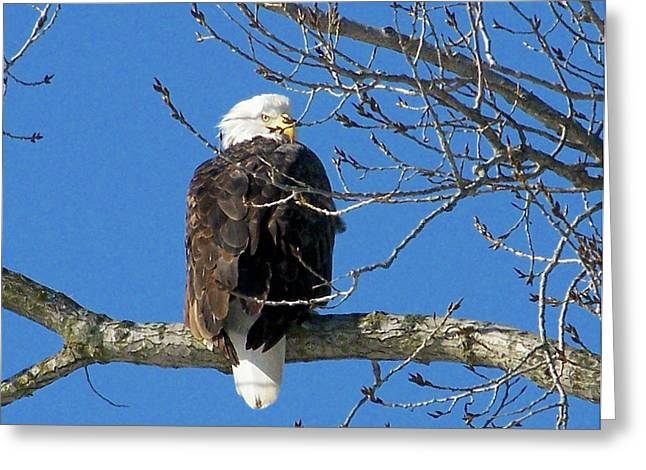 Eagle Watch Greeting Card by Sue Stefanowicz