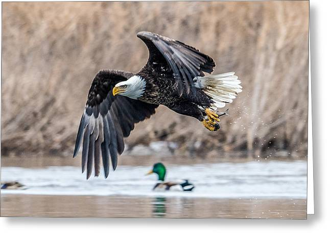 Eagle With Lunch Greeting Card by Paul Freidlund