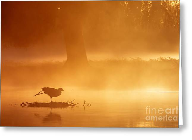 Earasian Coot At Sunrise Greeting Card