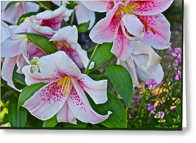 Early August Tumble Of Lilies Greeting Card