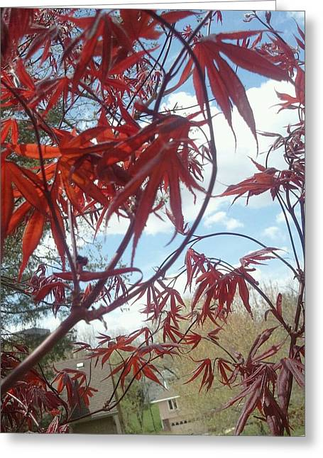 Early Bloodgood Maple Greeting Card